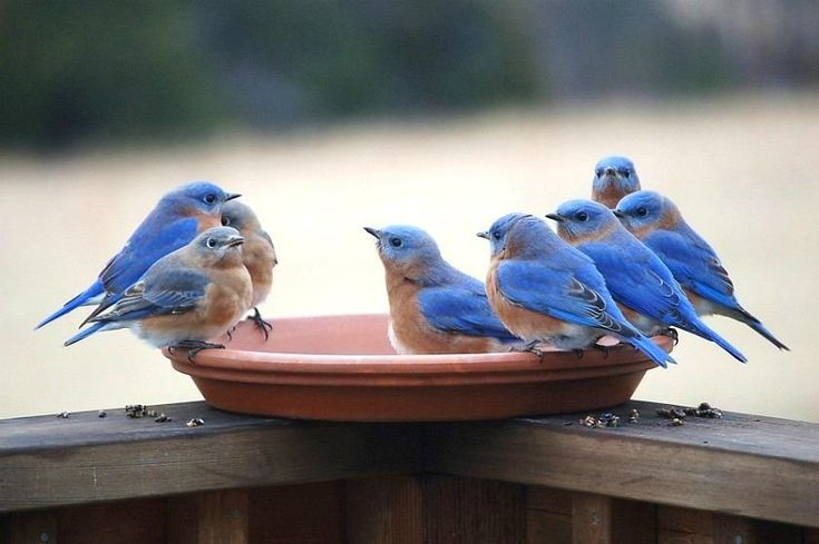 bluebirds. I have one house up and plan to put up another to entice these beauties to my yard so that I can watch them. Don't you think BLUE birds will be beautiful at the GREEN house?!!
