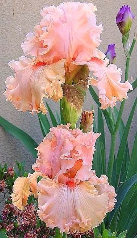 Flor Rosa a melocotón.
