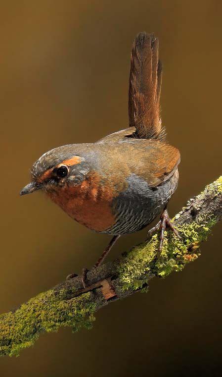 Chucao, ave chilena :)