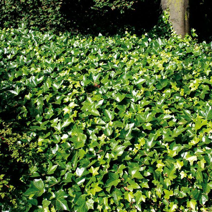 En skyggefull del av hagen kan by på utfordringer. Men det finnes mange forskjellige planter som trives godt i skyggen, og som har herlige grønnfarger å by på.