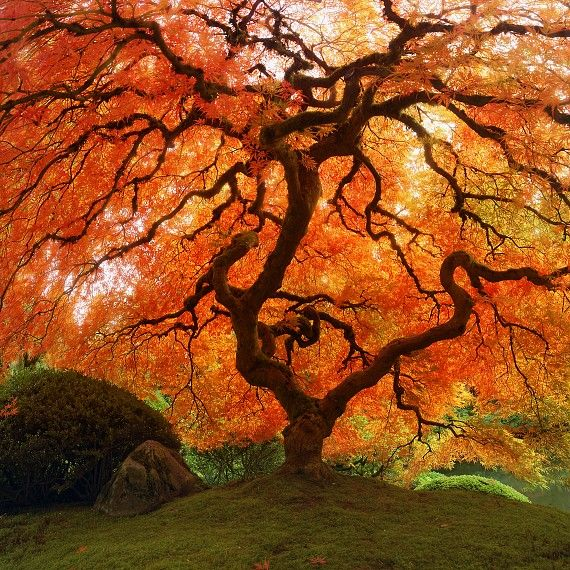 Wild, twisting Japanese maple in peak autumn red and orange. Japanese Garden Portland, Oregon.