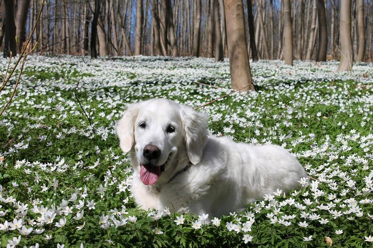 Ditte and I go to this place every year in April to enjoy the beautiful carpet of anemones as far as the eye can reach