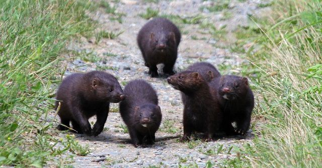 Minks Are The CUTEST Compilation - YouTube