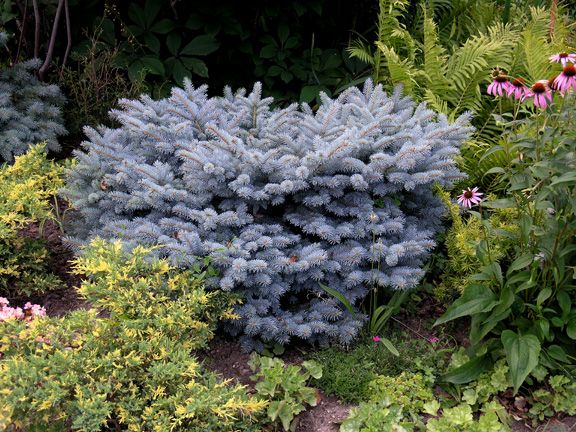 Picea Pungens Glauca Globosa Conifer Collection