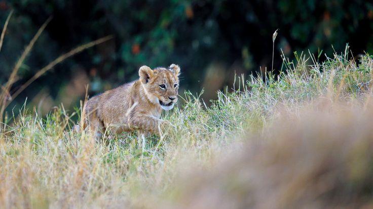 Lion cub by Vishwa Kiran on 500px