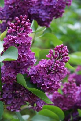 Lilac essential oil, recipes and stories. White Lotus Aromatics is a beautiful site for many types of essential oils, blend recipes and folklore