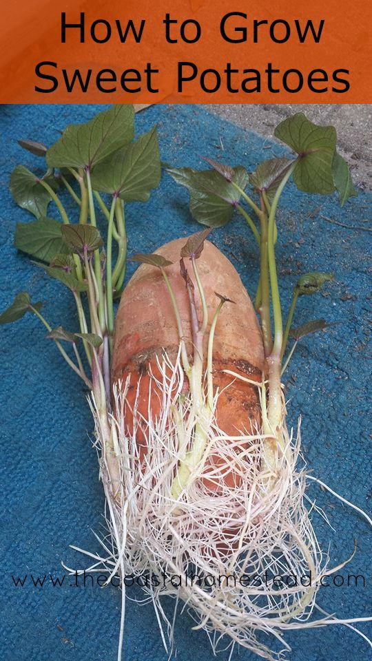 How to grow sweet potatoes in 5 easy steps.                                                                                                                                                     More