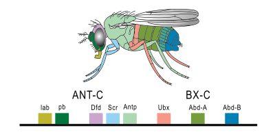 Hox gene - Wikipedia, the free encyclopedia