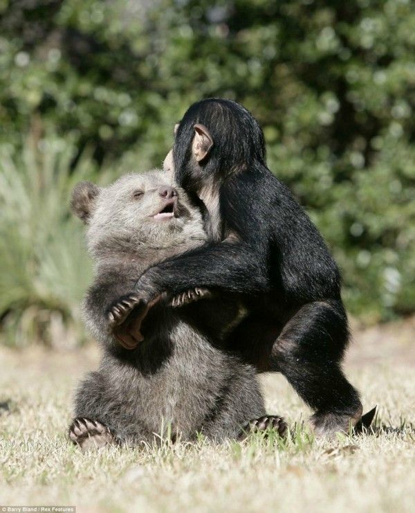 Grizzly Bear And The Chimpanzee4 Friendship Between Grizzly Bear And The Chimpanzee