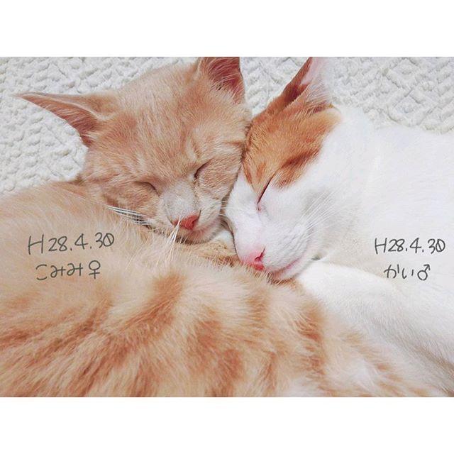 . . 今日は雨〜☔ 最近 雨多くない!? 晴れて〜〜! 😻  #にゃんすたぐらむ  #にゃんだふるらいふ  #愛猫 #にぼし大好きねこ #こみみ #かい #寝るか食べるか走り回るか