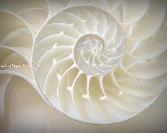 Ocean Dreaming  Nautilus Shell Sea Shell by mingtaphotography on etsy.
