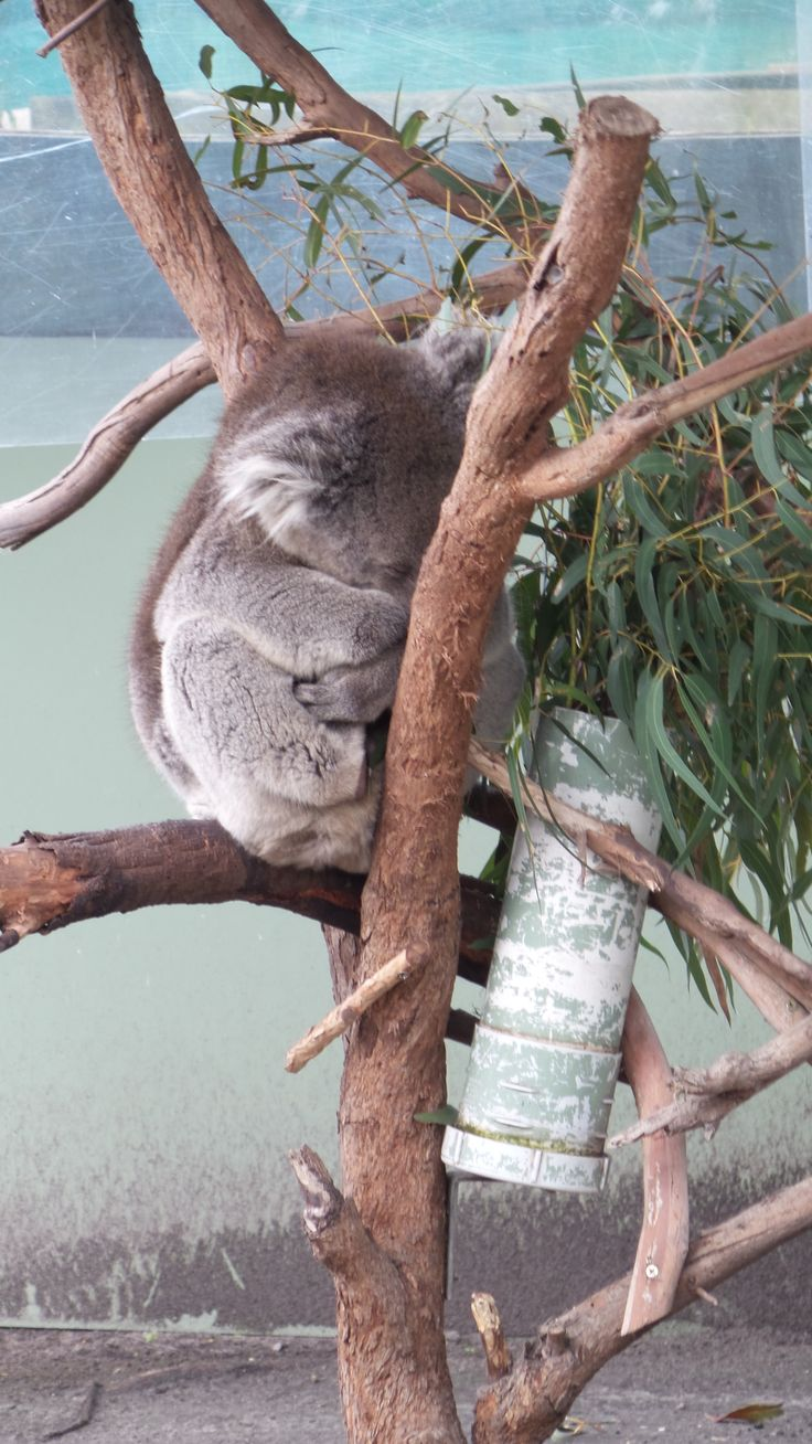 Get to cuddle a koala with your very own animal encounter at Moonlit Sanctuary in Percedale on the Mornington Peninsula in Melbourne, Victoria, Australia