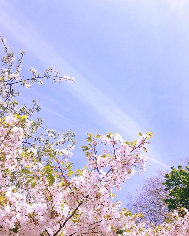 Beautiful weather on the weekend. This cherry blossom was so pretty 🌸  #london…