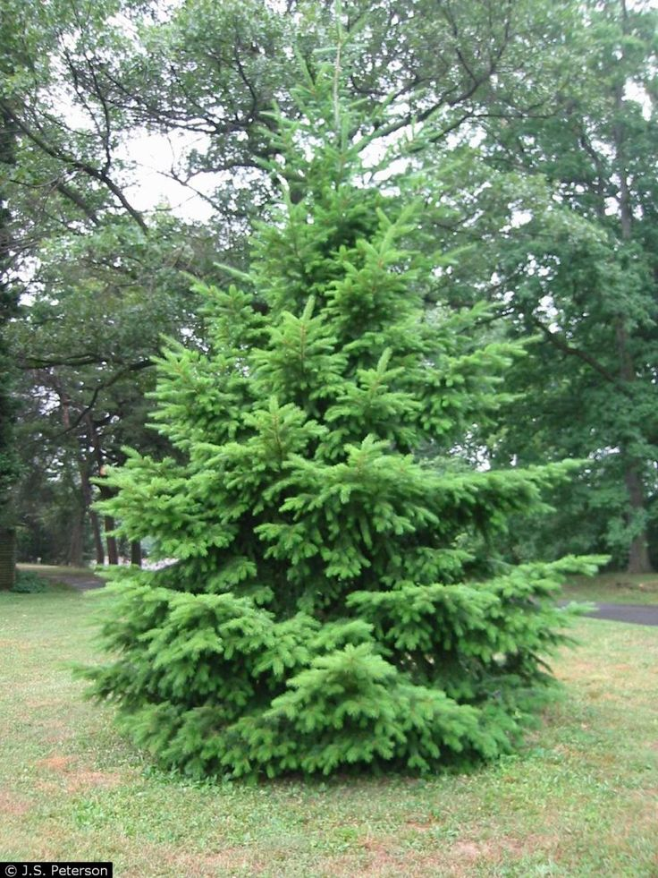 Best 25 Douglas Fir Christmas Tree Ideas On Pinterest Douglas  - Christmas Tree Discounts