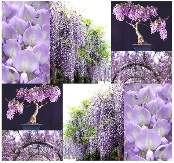 10 x Chinese Blue Purple Wisteria Wisteria от ALLooABOUTooSEEDS