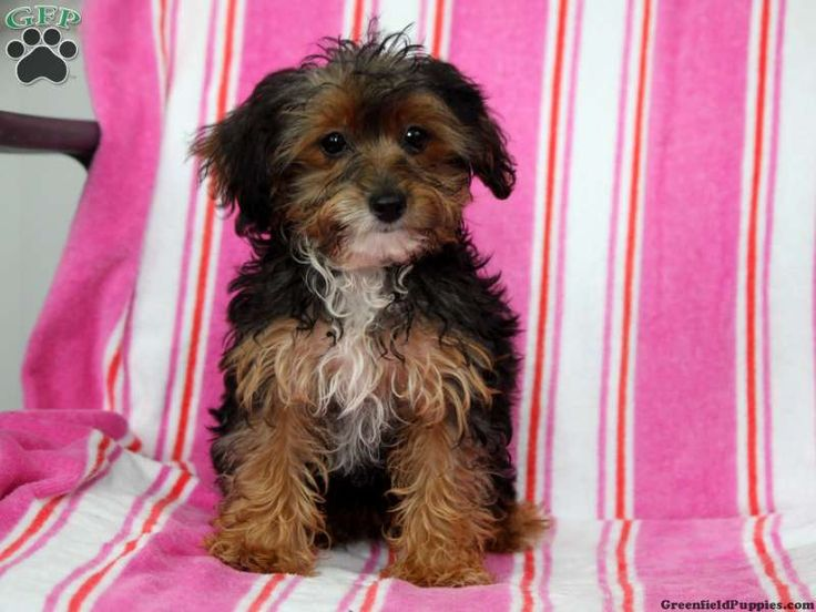 yorkie poo puppies for sale in pa 17 best images about loving designer puppies for sale on 670