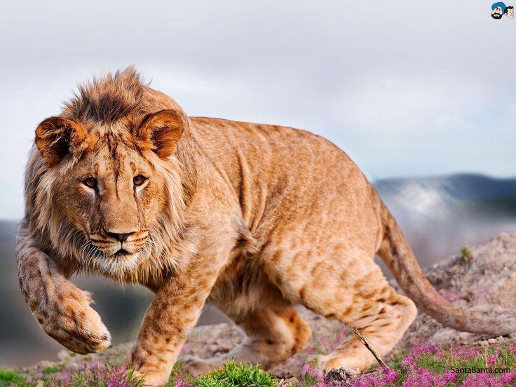 Best 25+ Lion Wallpaper Ideas On Pinterest