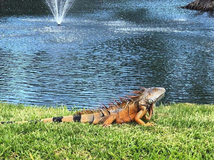 I've got a big lizard in my backyard........ (With images ...