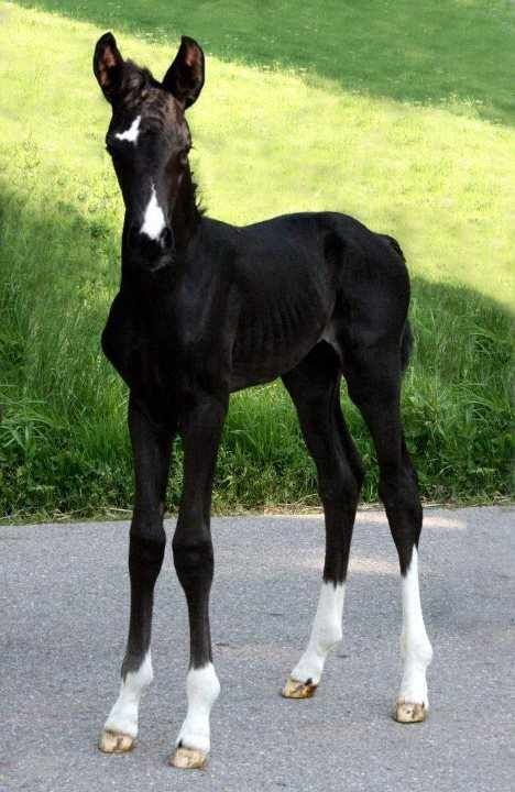 ~How Precious.  A black foal with an interesting Star and Snip.
