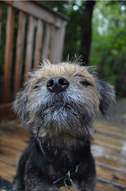 Border Terrier Yep I always look This Good! Want a smooch?