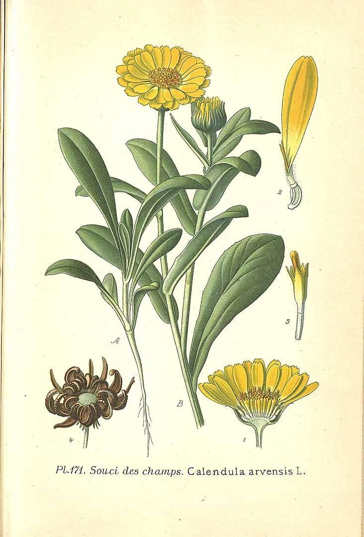 266682 Calendula arvensis (Vaill.) L. / Masclef, A., Atlas des plantes de France, vol. 2: t. 171 ()