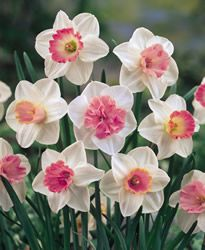Daffodil-Large Cupped-Mixed Pink Colors