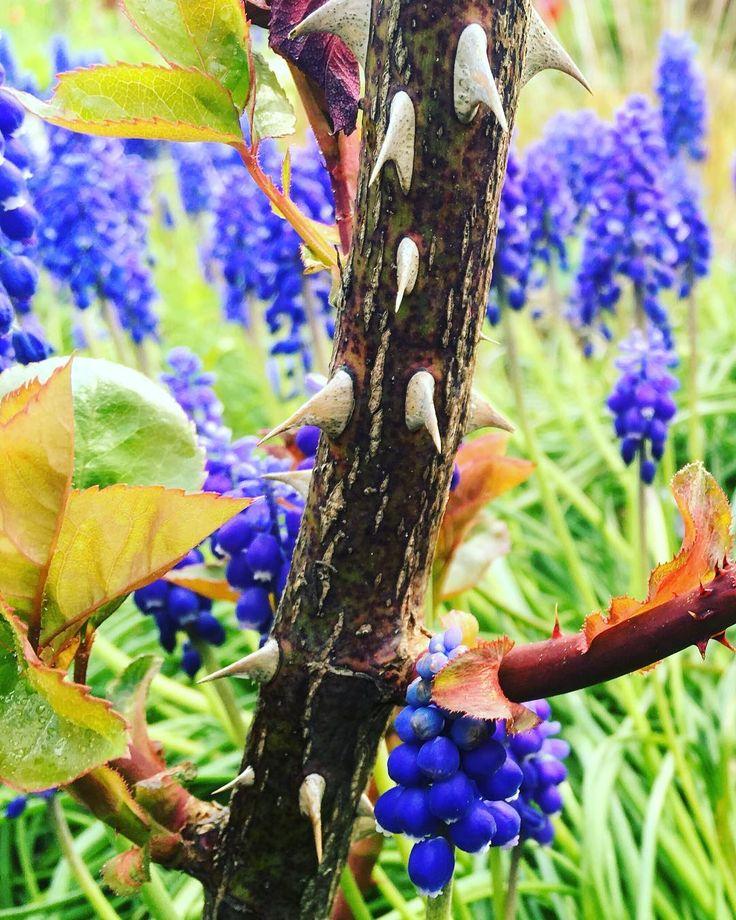 """""""Das Leben ist ein dorniger Rosenstock und das Glück seine Blüten."""" Konfuzius ... ���������������������� ... #zitat #zitate #zitateundsprueche #weisheiten #zitatdestages #spruch #sprüche #garten #garden #rose #dornen #leben #glück #glücklich #nature #naturelovers #naturephotography #plants #foto #photography #photooftheday #traubenhyazinthe #konfuzius #instagood #�� #�� ... ���������������������� http://tipsrazzi.com/ipost/1509005933899078735/?code=BTxEObeAtxP"""