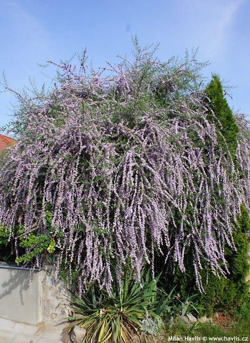 Buddleja alternifolia fountain butterfly bush