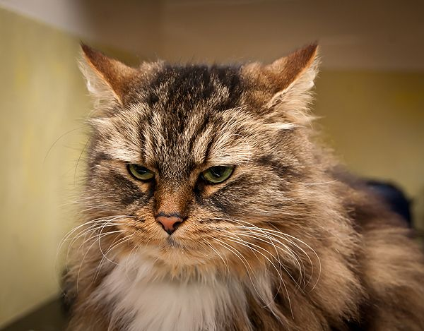 what cat breeds are hypoallergenic
