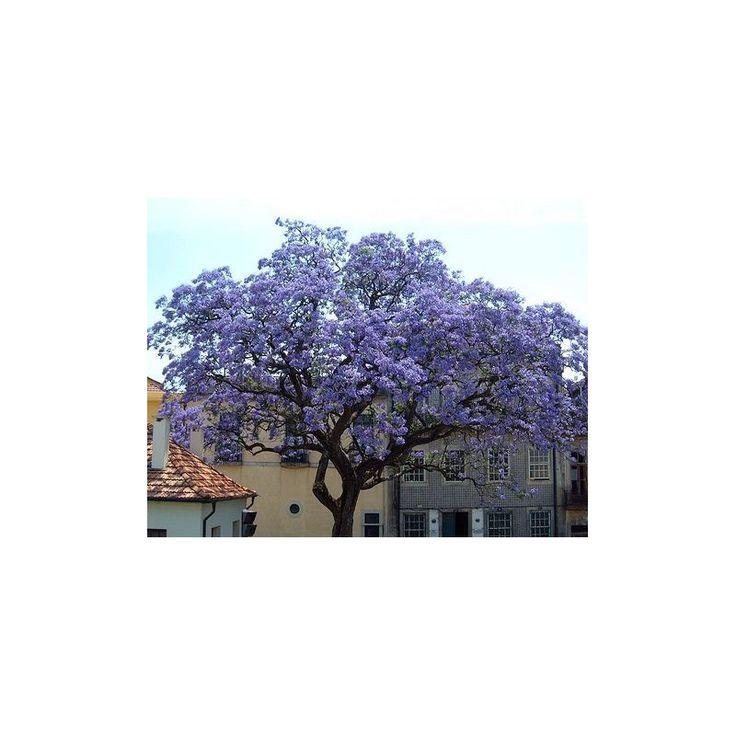 Čínský císarský strom- Paulovnia plstnatá- Paulownia tomentosa- semená- 15 ks