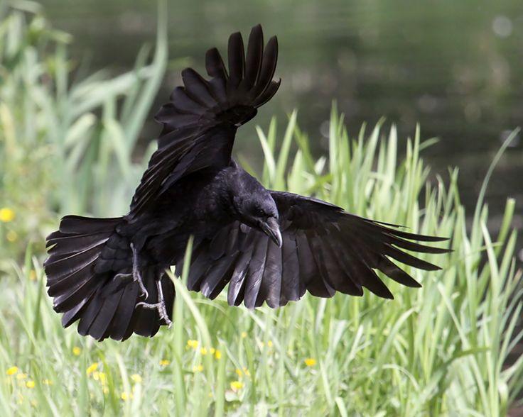 Crow Landing by SnowPoring.deviantart.com