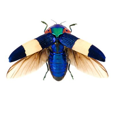 """Jewel Beetle ~ With 15,000 variets ranging all over the globe, some are endowed with special sensors that allow them to detect forest fires from 50 mi away, and infrared so they can zero in on the area faster, where they go to lay their eggs. In that environment their eggs and young are safe, because for the time being the area is bereft of predators. ~ Miks' Pics """"Arachnids and  Insects l"""" board @ http://www.pinterest.com/msmgish/arachnids-and-insects-l/"""