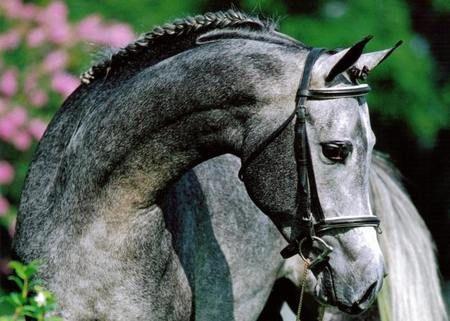 Gray Horse: Beautiful Horses, Equine, Grey Horses, Beautiful Grey, Arabian, Gray Horse, Animals Horses