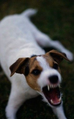 Pin de Susan Kelly em Bow Wow! Arf Arf! Woof Woof! Grrr