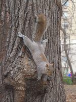 A gray squirrel clings to an unprotected tree.