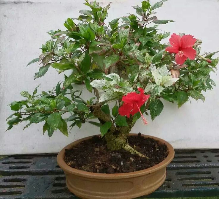 how to grow hibiscus bonsai