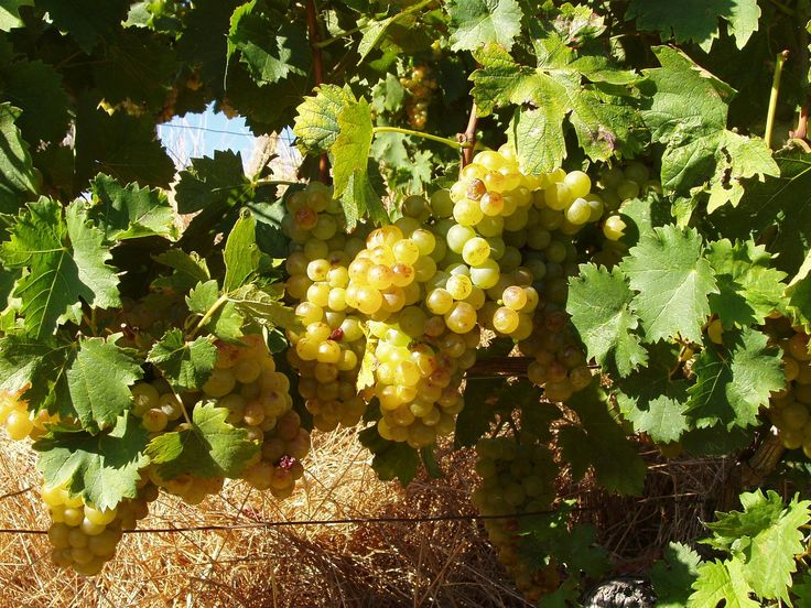 The grapes of Moscato