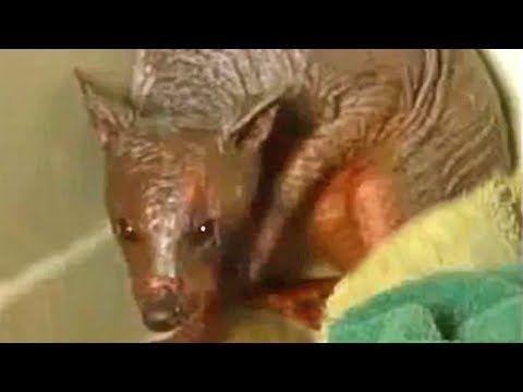 Chupacabra Extraordinary Footage | Bigfoot NOW!