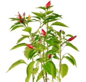 trik agar tanaman cabe subur