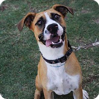McKinney, TX Boxer/Terrier (Unknown Type, Medium) Mix