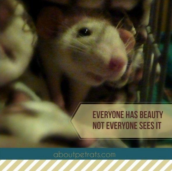 about pet rats, pet rats, pet rat, rats, rat, fancy rats, fancy rat, ratties, rattie, pet rat care, pet rat info, pet rat information, pet rats are beautiful, best pet ever