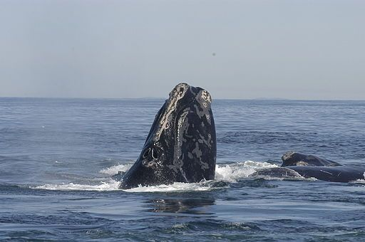 Global Right Whale Population Faces Extinction Due to Fish Ropes, Birth Decline