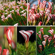 Oxalis Versicolor Virág magjai 100db világ Ritka Virágok Kert Ültetés Virágok Semillas (Kína (szárazföld))