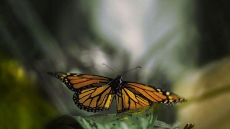 Flight of the Butterflies Omnitheater film - trailer