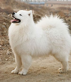 Samoyed. Get a Free Consultation for your #dog from our Friends at Nature's Select #Petfood http://naturalpetfooddelivery.com/nsd/usa/free-consultation/