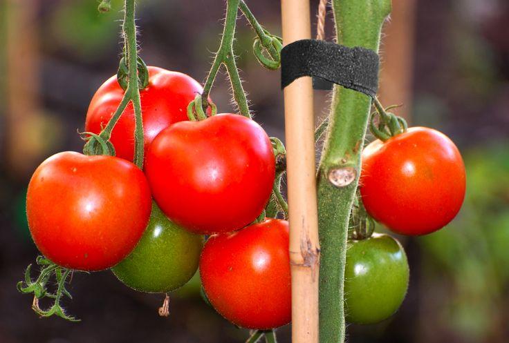 Attachez ses plans de tomates facilement !  https://www.facebook.com/idscratch/