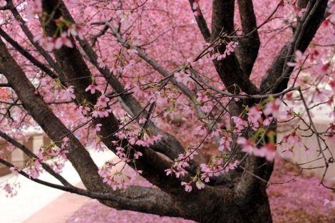 Varios cerezos florecidos en el Parque Central en Washington (EEUU). | Efe