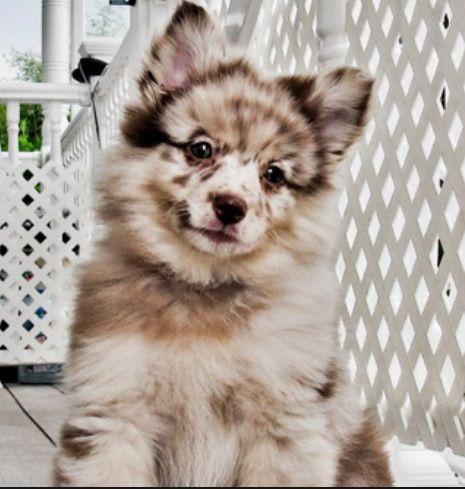 Aussie Pomeranian mix | Girl's Best Friend | Pinterest ...