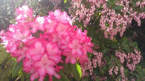 Rhododendrums on wombat hill.
