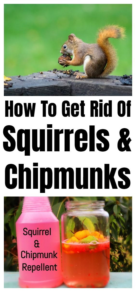 How To Get Rid Of Squirrels Chipmunks Get Rid Of Squirrels Chipmunk Repellent Squirrel Repellant